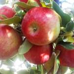 Apples Honeycrisp on John's Tree 2011