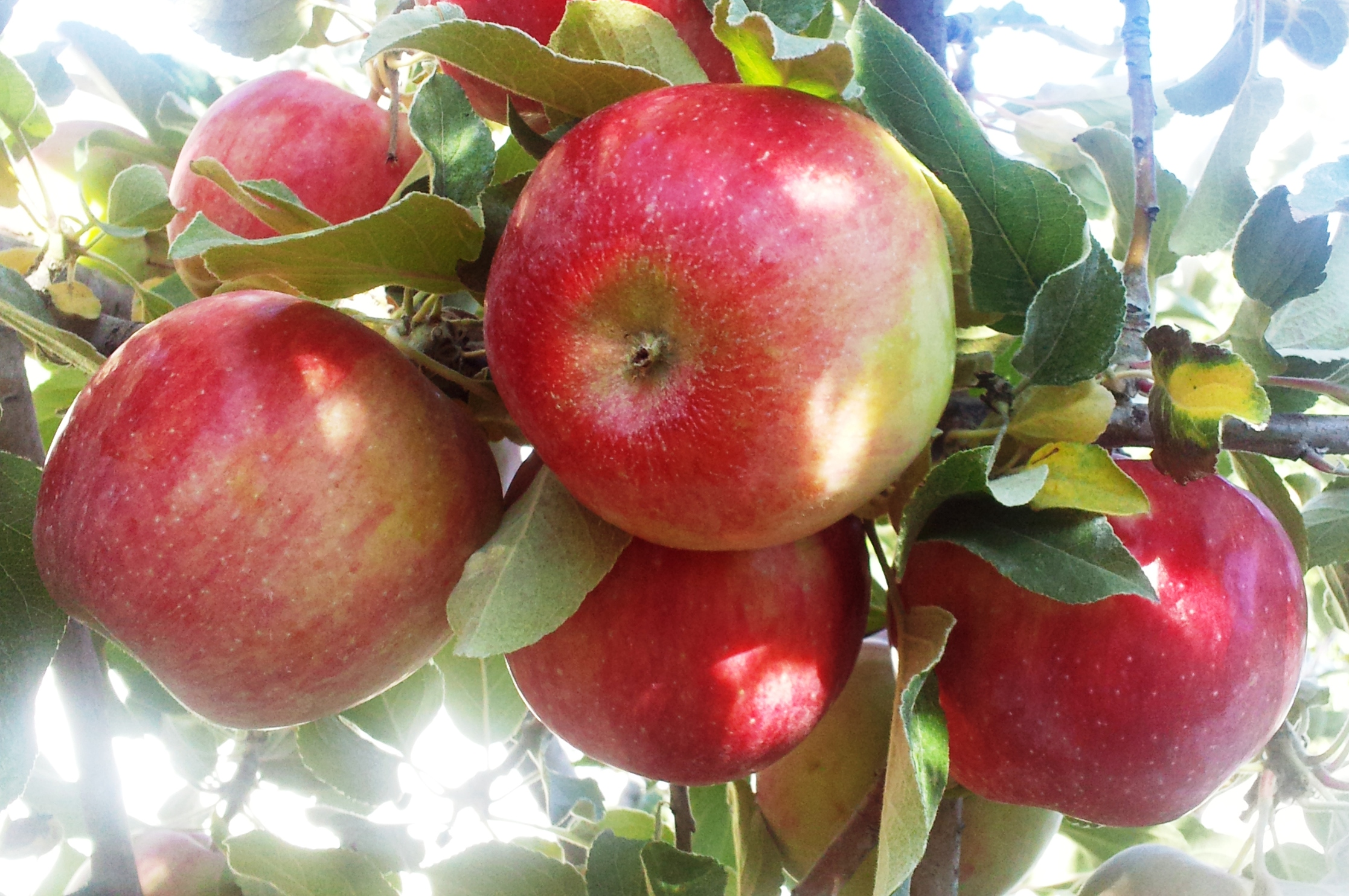 growing fruit trees in east idaho town and country gardens