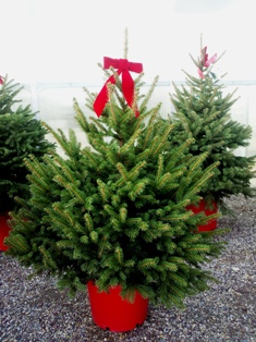 Potted Living Christmas Trees | Town and Country Gardens