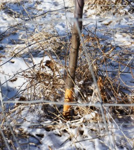 Rodent Damage-Young Fruit Tree Girdled-Small