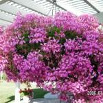 Ivy Geranium Basket