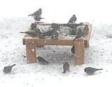 winterfeeding on ground
