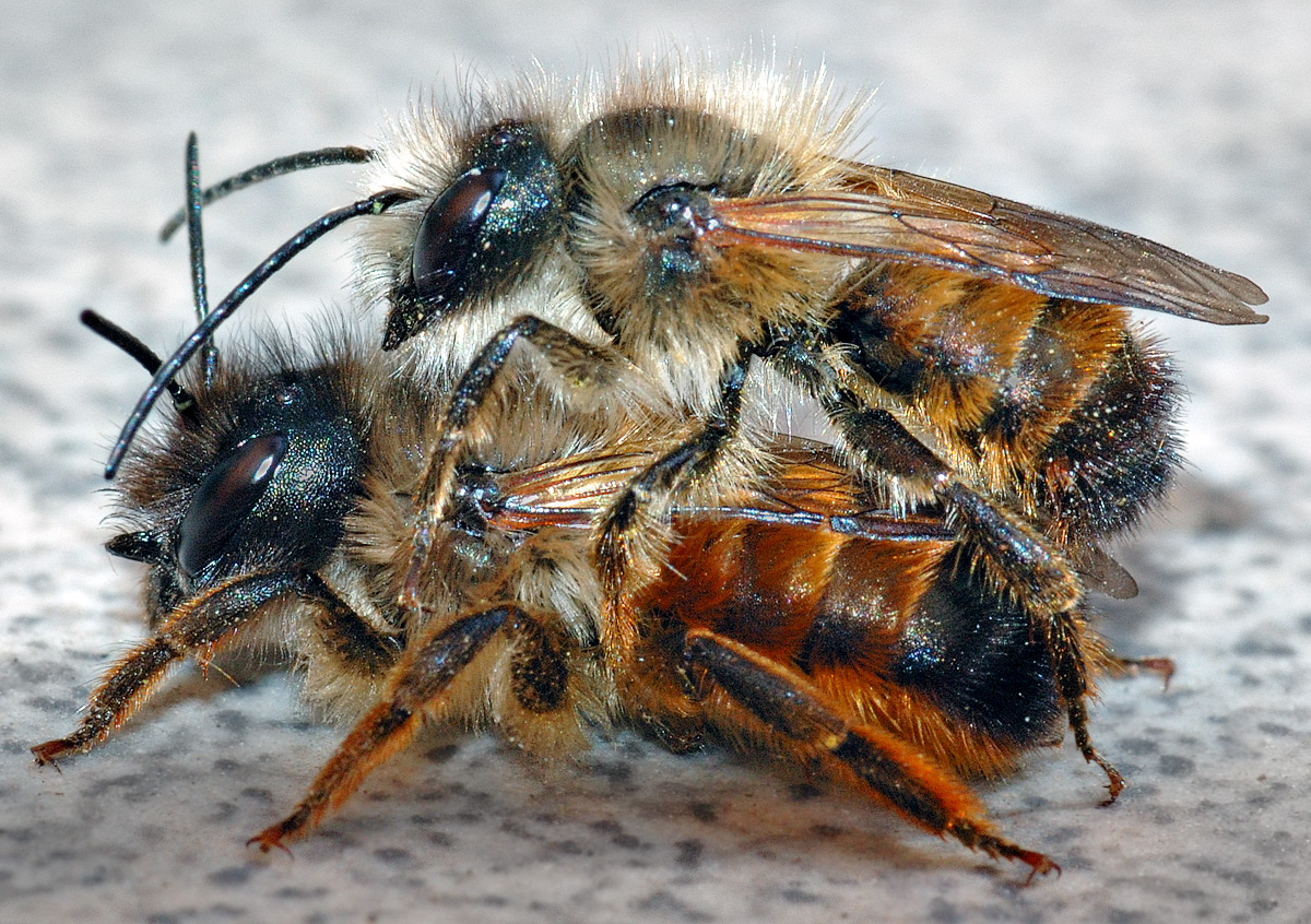 Mason Bees- A Gardener\'s Best Friend | Town and Country Gardens