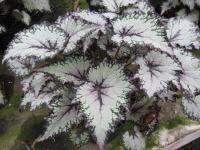 Begonia 'Aurora'