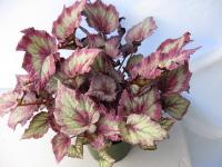 Begonia 'Ideal Blush'