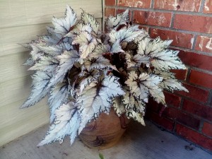 Begonia 'Shadow King Moonlight' on my porch