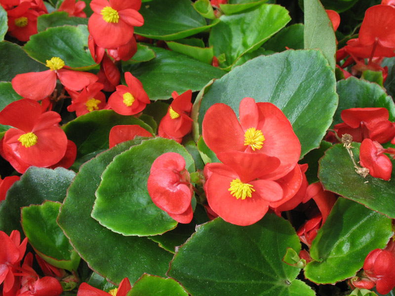 Begonias The King Of Shade Town And Country Gardens
