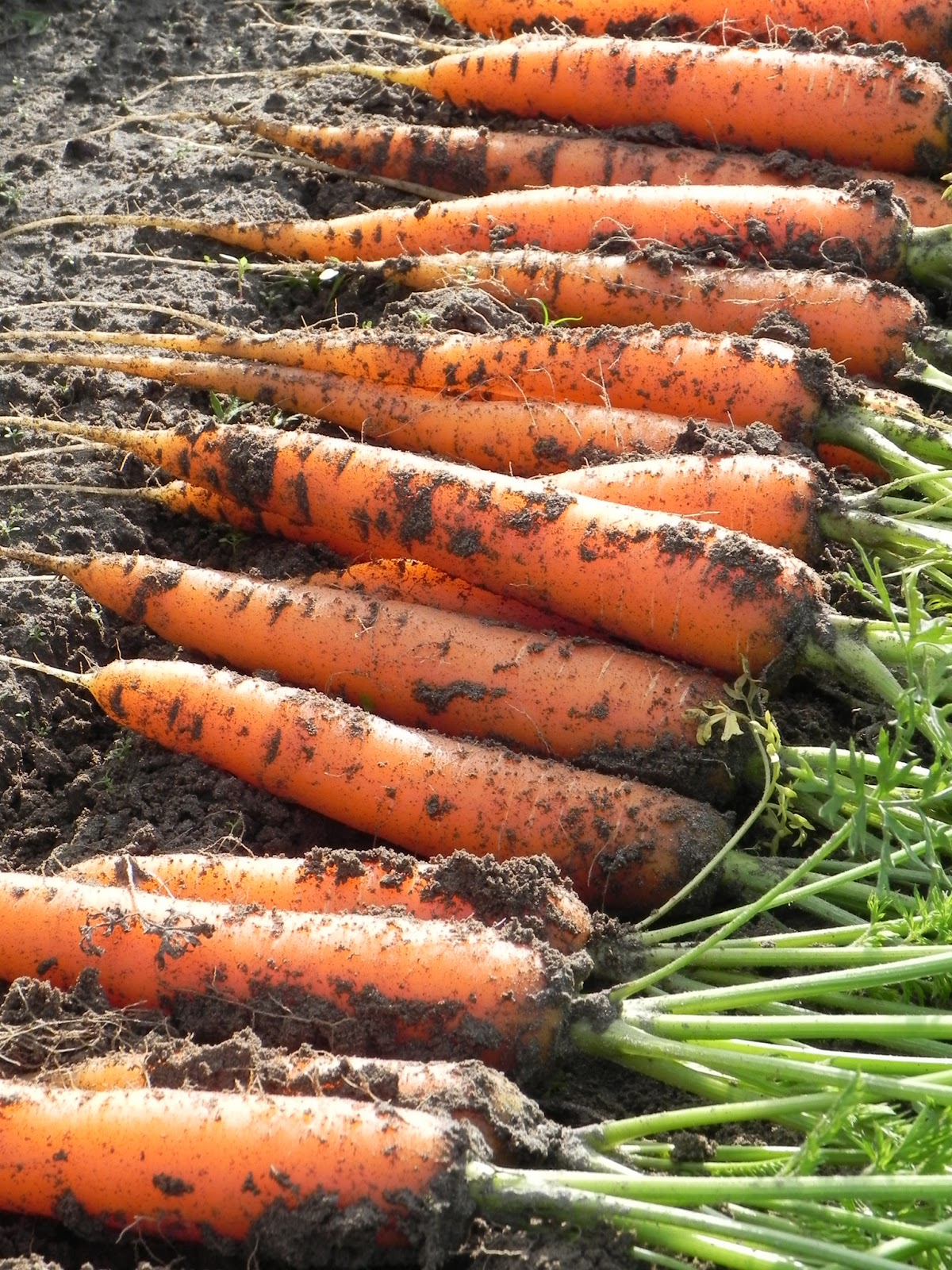 How to store carrots in the basement, cellar, apartment and in the refrigerator How to save carrots for the winter 44