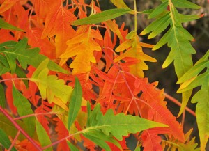 Favorite Fall Foliage For East Idaho Town And Country