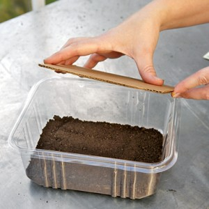 microgreens-growing-flatten soil with cardboard