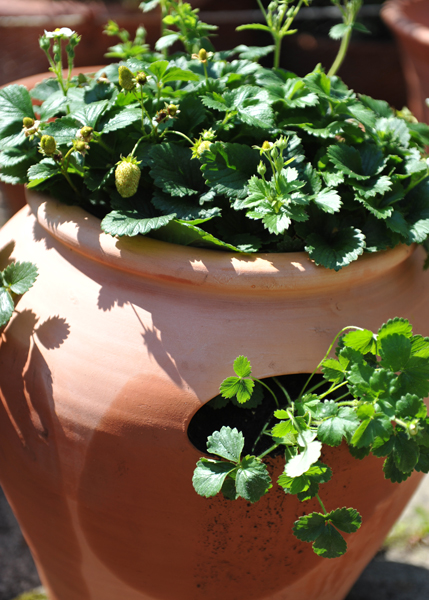 strawberry pot with plants