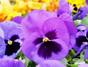 Pansy Purple 2015- John (600x458)