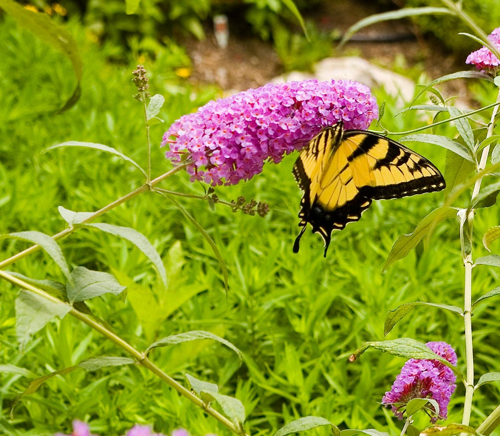 Butterfly-Swallowtail-On-Buddleia