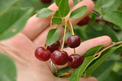 Cherry Carmine Jewel Fruit in Hand