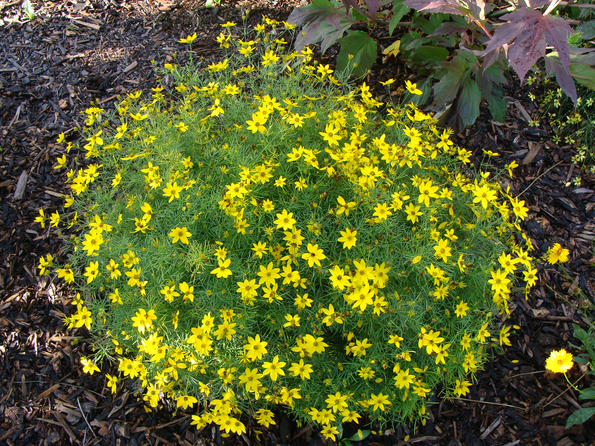 5 fool proof perennial flowers town and country gardens coreopsis moonbeam mightylinksfo