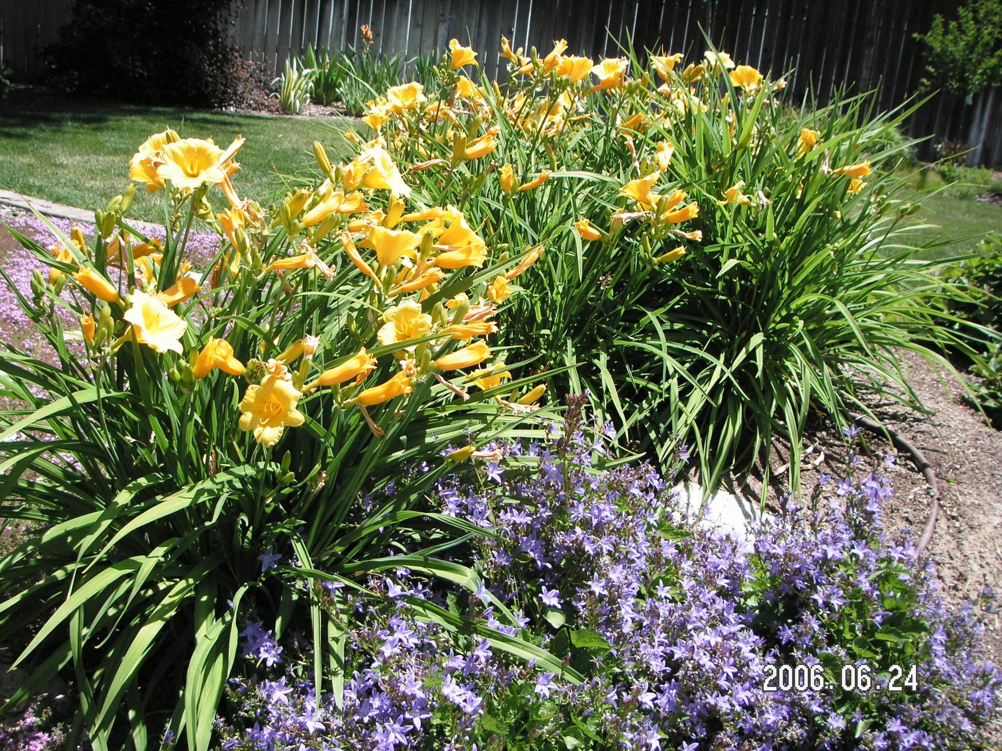 5 Fool Proof Perennial Flowers Town And Country Gardens