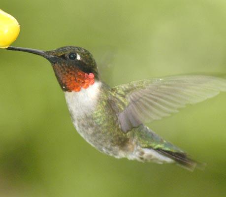 Hummingbird- Ruby Troated