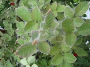 Spider mites on a rose bush