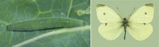 Imported Cabbageworm larvae (left) and adult (right)