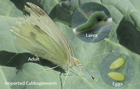 Cabbageworm-Imported-UtahStateUniv