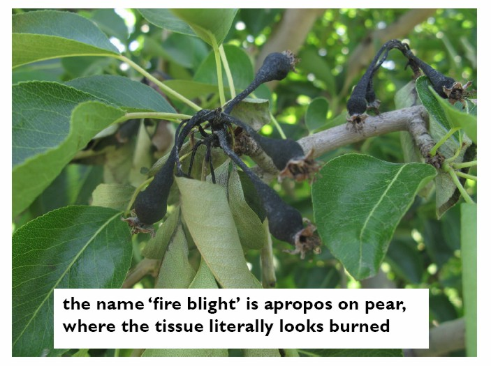 Fire blight in pear