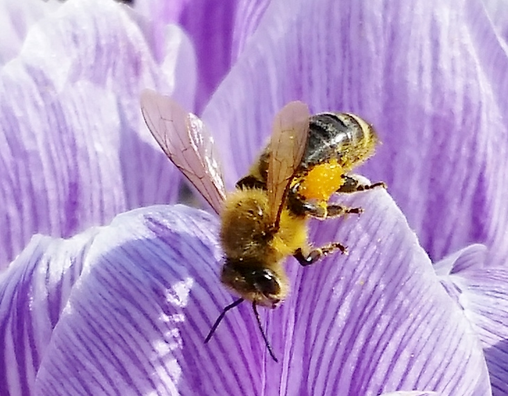 Bee on Crocus CU- John 2015